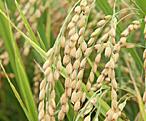 玄米粉 日本産