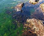 海藻 アスコフィルム カナダ産