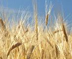 大麦全粒粉