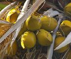 ココナッツ胚芽