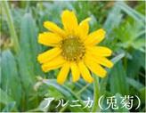 アルニカ(兎菊)写真