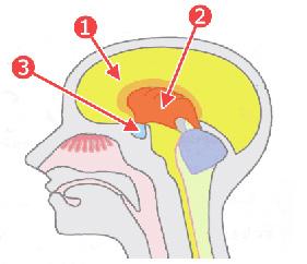 大脳、大脳辺縁系、視床下部